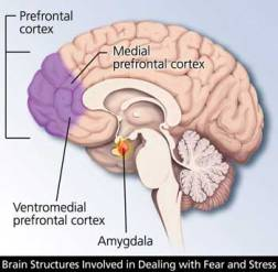 amygdala-prefrontal-cortex